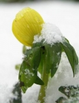 Eranthis snow.jpg